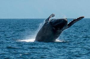 balena megattera violazione all'indietro foto
