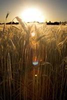 campo di grano all'alba di una giornata di sole foto