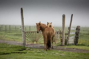 Islanda cavallo foto