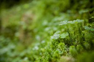 bellissimo primo piano del trifoglio verde
