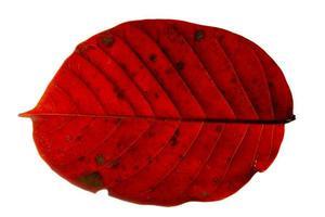foglia rossa su sfondo bianco