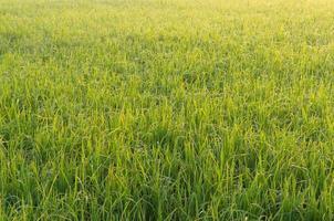 campo di riso risaia, sullo sfondo della natura