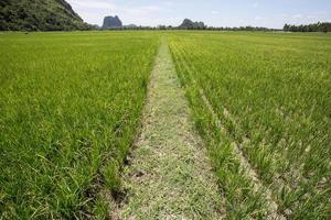 campo di riso verde sullo sfondo del paesaggio