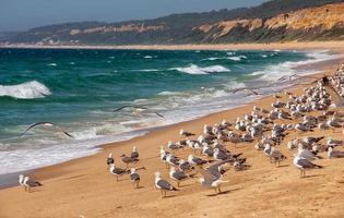 molti gabbiani sulla riva. spiaggia atlantica, portogallo.