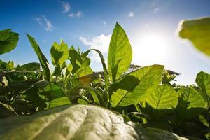 sole che sorge dietro le foglie della piantagione di tabacco foto