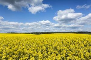 semi oleosi colza campo di fiori di canola in giornata di sole