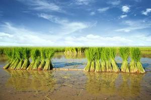 piantine di riso agricoltura