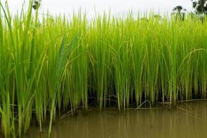 campi di riso
