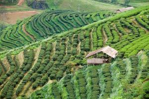 piantagione di tè nel doi ang khang, chiang mai, thailandia