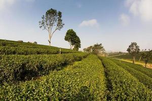 piantagione di tè verde.