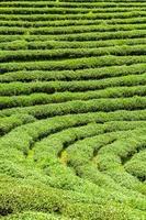 piantagioni di tè in thailandia.