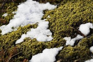 primo piano del fragile muschio islandese