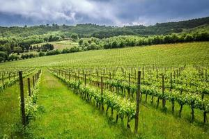 campi di uva in estate, italia