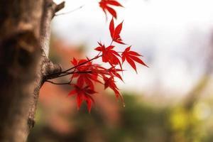 fogliame di autunno autunno acero
