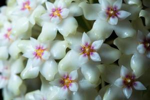 macro di fiori hoya bianco