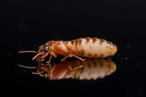 termite macro su sfondo nero lucido
