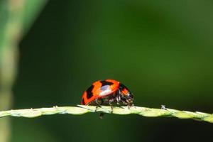 macro lady bird in natura