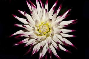 fiore bianco e viola
