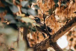 merlo seduto sul ramo di un albero