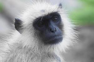 scimmia con la faccia nera