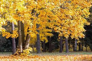 alberi di acero autunnale