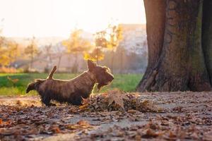 scottish terrier in un parco kick leafs