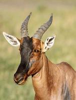 primo piano di una bellissima antilope topi foto