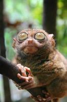 più tarsier filippino foto