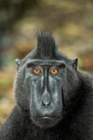 ritratto di celebes macaco crestato, sulawesi, indonesia foto
