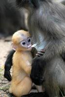 madre scimmia e il suo bambino (presbytis obscura reid). foto