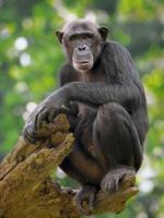 scimpanzé comune foto