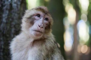 scimmia barbaresca foto
