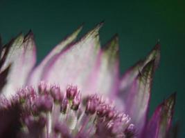 fiore a spillo viola foto
