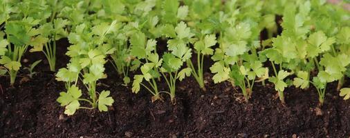 fotografia di piante di sedano per illustrazioni di agricoltura foto
