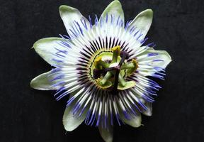 passiflora blu da vicino