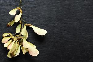 una manciata di frutti d'acero essiccati foto
