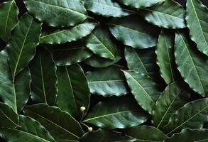 fotografia di foglie di alloro per sfondo alimentare
