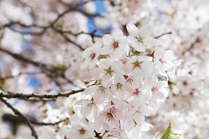 albero in fiore in Scozia