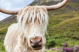 bestiame hihgland foto