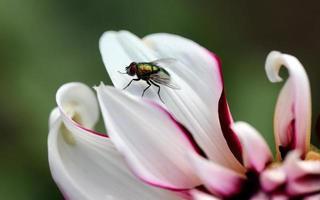 mosca macro su petali di fiori dalia