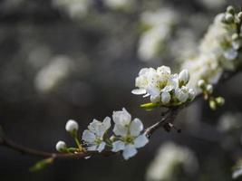 fiori di ciliegio bianchi
