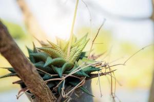 cactus nano in vaso foto