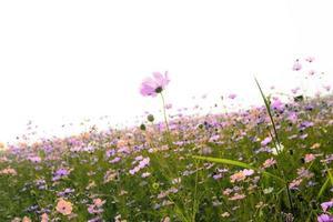 campo rosa cosmo