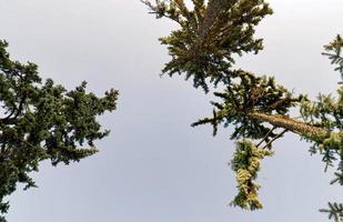 vista dal basso di conifere durante l'autunno