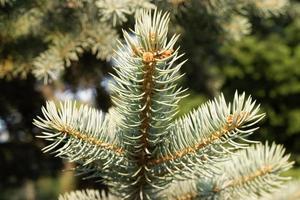 primo piano di aghi di conifere