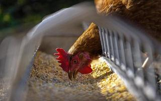 gallina che mangia cibo preparato