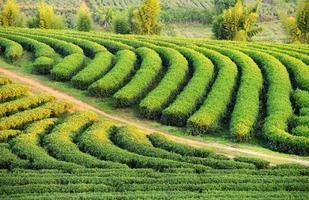 cambiamento della piantagione di tè ri a nord della Tailandia.