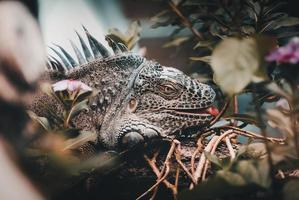 primo piano di un'iguana