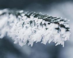primo piano di pino coperto di ghiaccio