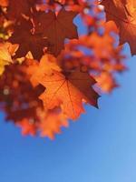 foglie d'acero che diventano arancioni